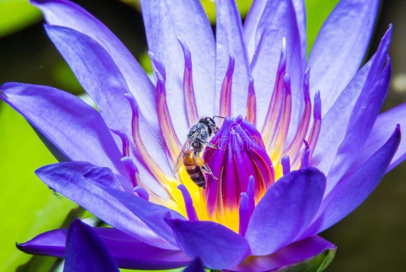 Пчела на лилии воды стоковые фото