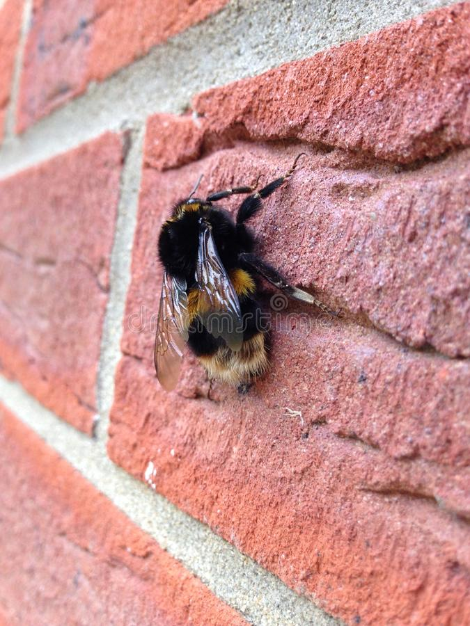 Пчела на кирпичной кладке стоковые фотографии rf