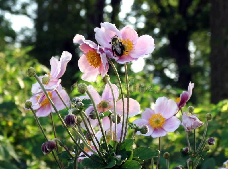 Пчела на одичалых розах стоковое фото