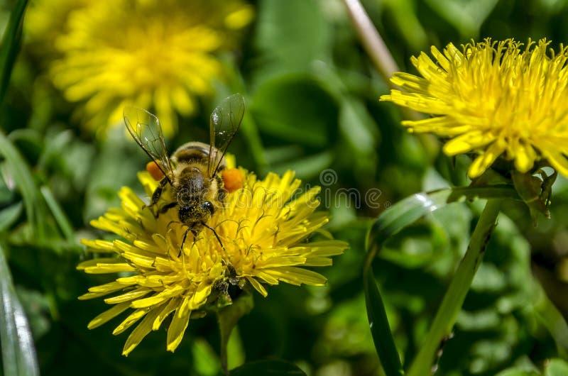Пчела на одуванчике стоковое фото