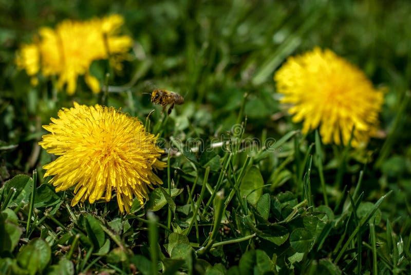Пчела на одуванчике 1 стоковая фотография rf
