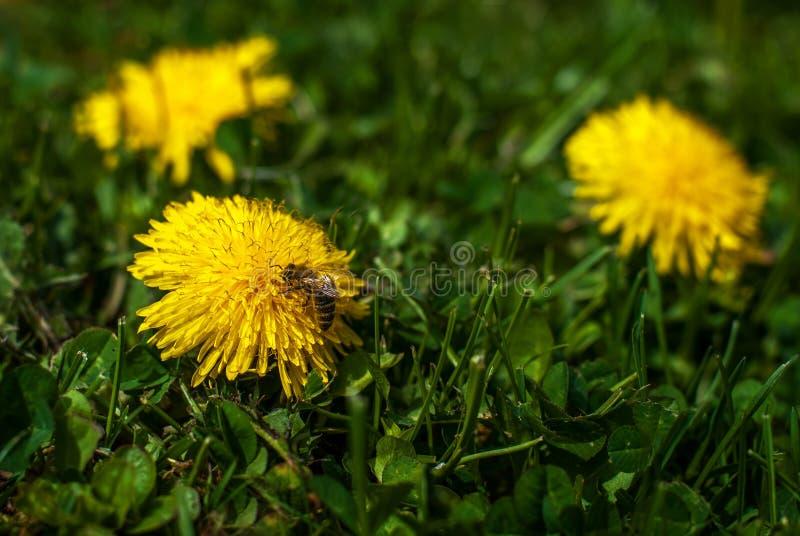 Пчела на одуванчике 2 стоковое фото