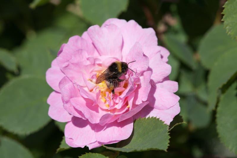 Пчела на подняла стоковое изображение