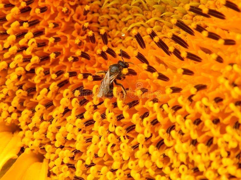 Пчела на солнцецвете в моем саде стоковые изображения rf