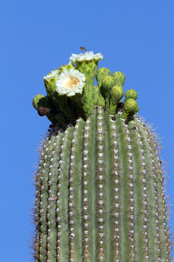 Пчела над цветками Saguaro стоковые изображения