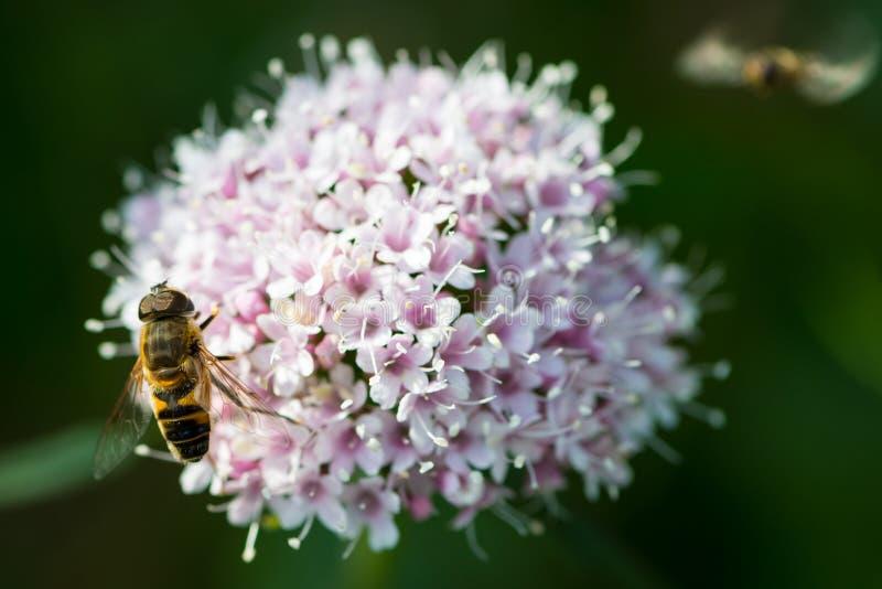 Пчела на цветке горной вершины стоковое изображение rf
