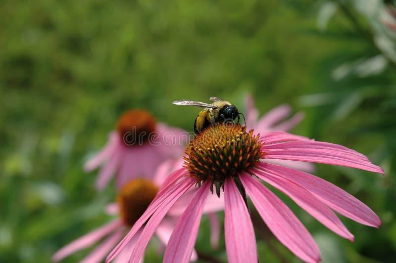 Пчела на цветке конуса стоковые фотографии rf