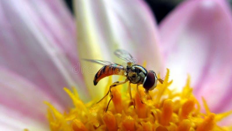 Пчела на цветке стоковое изображение rf