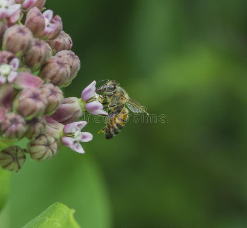 Пчела на цветке Milkweed стоковое фото
