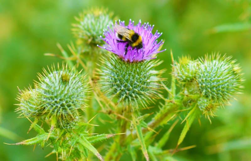 Пчела на thistle 5 стоковое фото rf