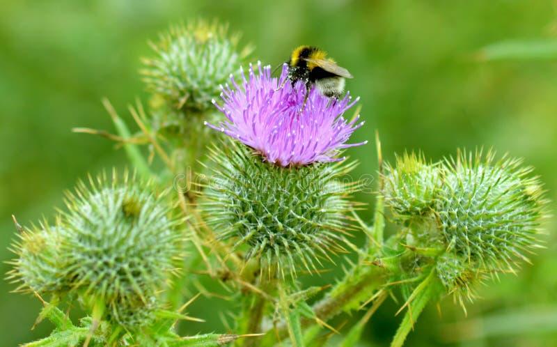 Пчела на thistle 3 стоковое фото