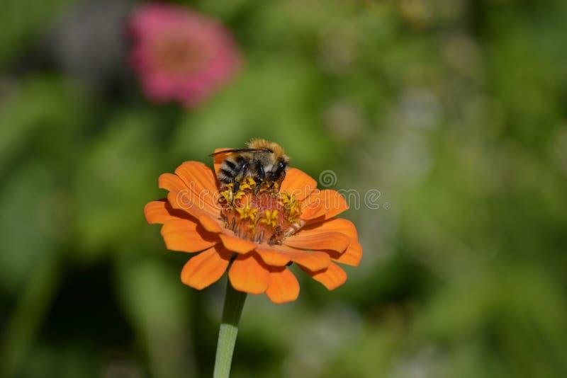 Пчела на zinnia стоковое изображение rf