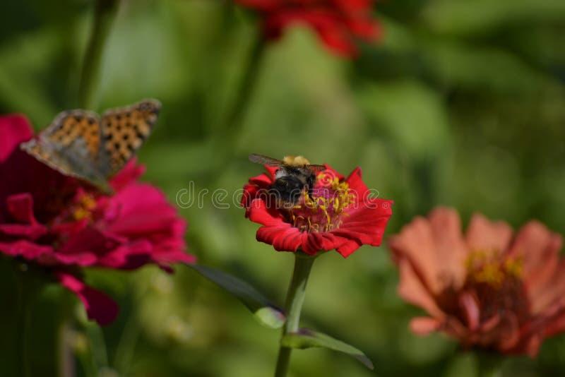 Пчела на zinnia стоковая фотография