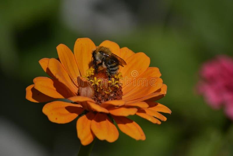 Пчела на zinnia стоковое изображение