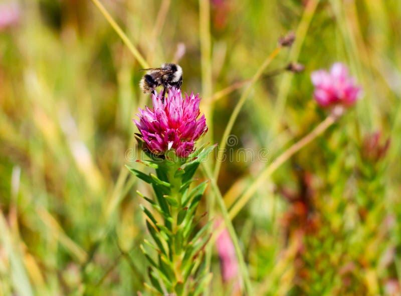 Пчела опыляет розовый полевой цветок стоковые фотографии rf