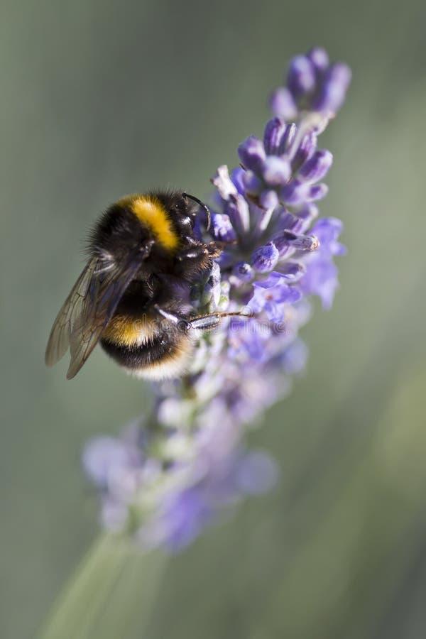 пчела путает лаванда стоковые изображения rf