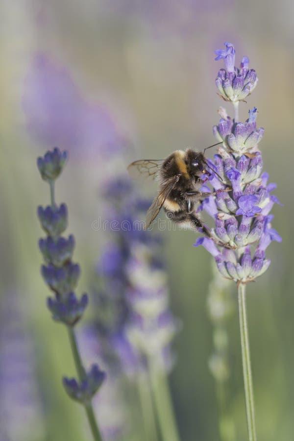 пчела путает лаванда стоковые изображения