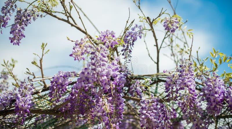 Пчела плотника & x28; Xylocopa Valga& x29; опылите пурпур и Wis лаванды стоковая фотография rf
