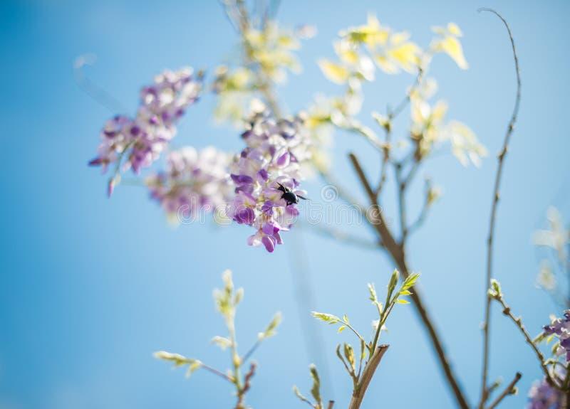 Пчела плотника & x28; Xylocopa Valga& x29; опылите пурпур и Wis лаванды стоковое фото
