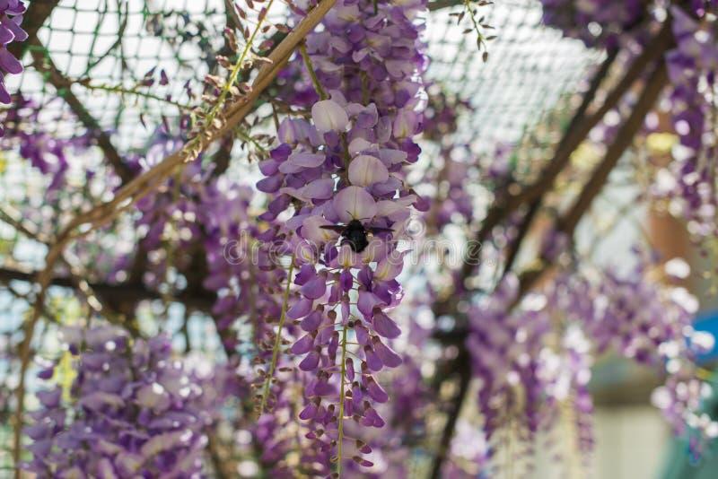 Пчела плотника & x28; Xylocopa Valga& x29; опылите пурпур и Wis лаванды стоковые фото