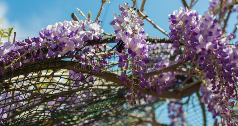 Пчела плотника & x28; Xylocopa Valga& x29; опылите пурпур и Wis лаванды стоковые изображения