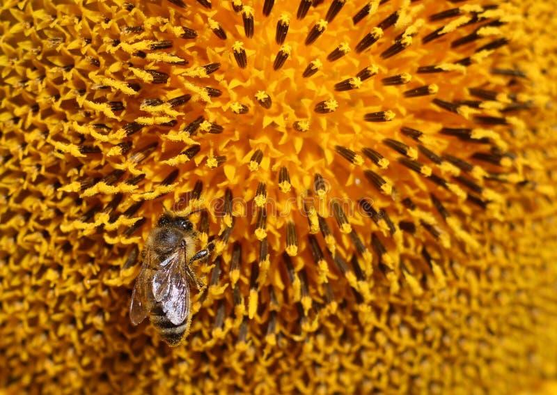 Пчела сидит на ярком солнцецвете и выпивая нектаре от его внутри стоковое изображение rf