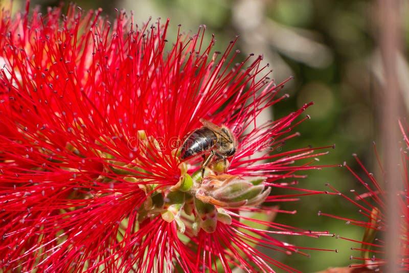 Пчела сидя на цветке стоковая фотография rf