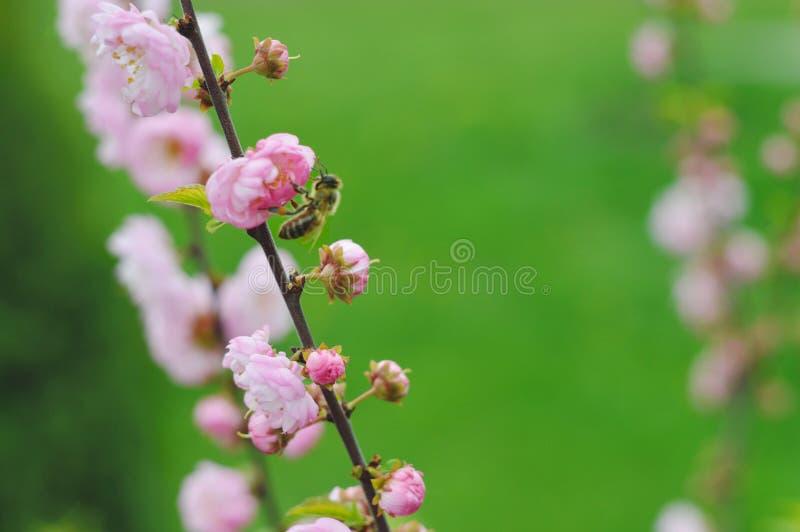 пчела собирает нектар стоковые фото