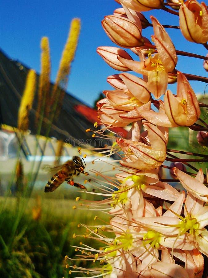 Пчела собирая обедающий стоковая фотография rf