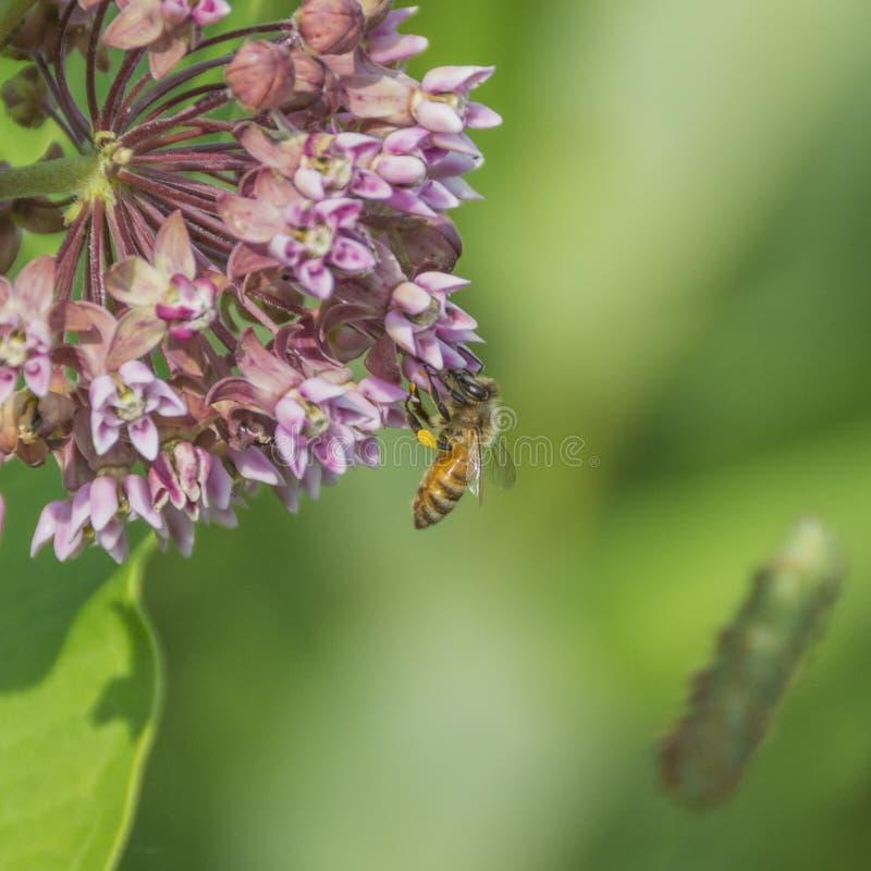 Пчела с Sacs цветня стоковая фотография rf