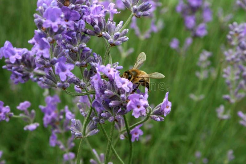 пчела цветет лаванда стоковое фото rf