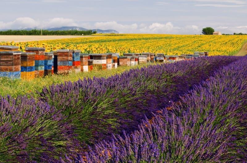 Пчела Hives поля солнцецвета и лаванды подкладки на плато De Valensole стоковое изображение