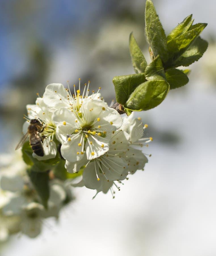 Пчеловодство в саде Пчела собирает нектар на blossoming ветви абрикоса стоковые изображения rf