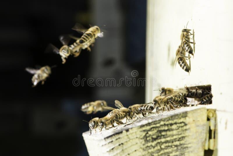 Пчелы входя в крапивницу стоковое фото rf