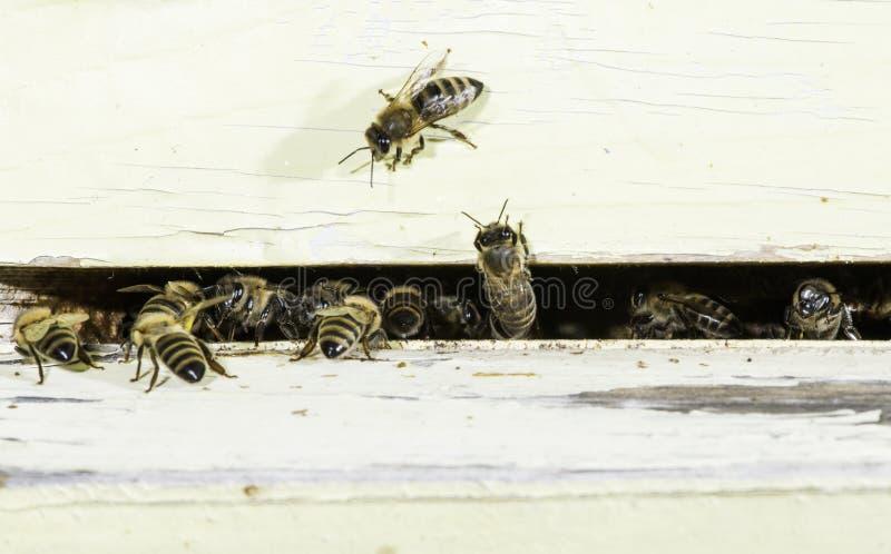 Пчелы входя в крапивницу стоковые фотографии rf