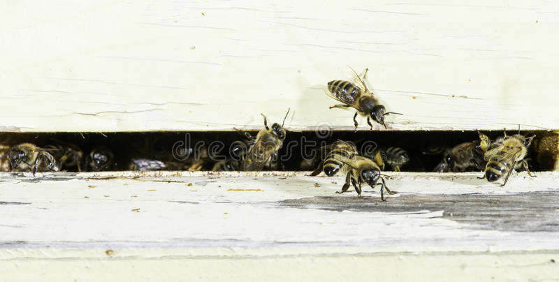 Пчелы входя в крапивницу стоковые фото