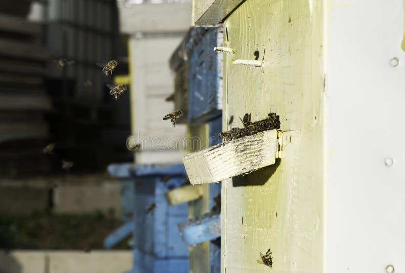 Пчелы входя в крапивницу стоковые изображения rf