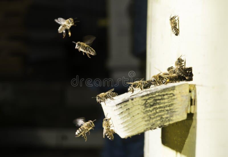 Пчелы входя в крапивницу стоковое изображение