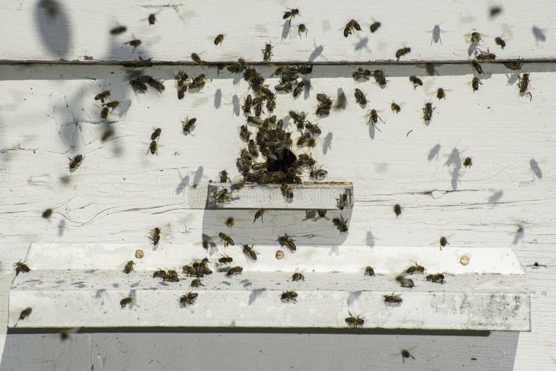 Пчелы входя в крапивницу стоковая фотография