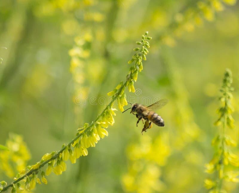 Пчелы и цветки стоковая фотография rf