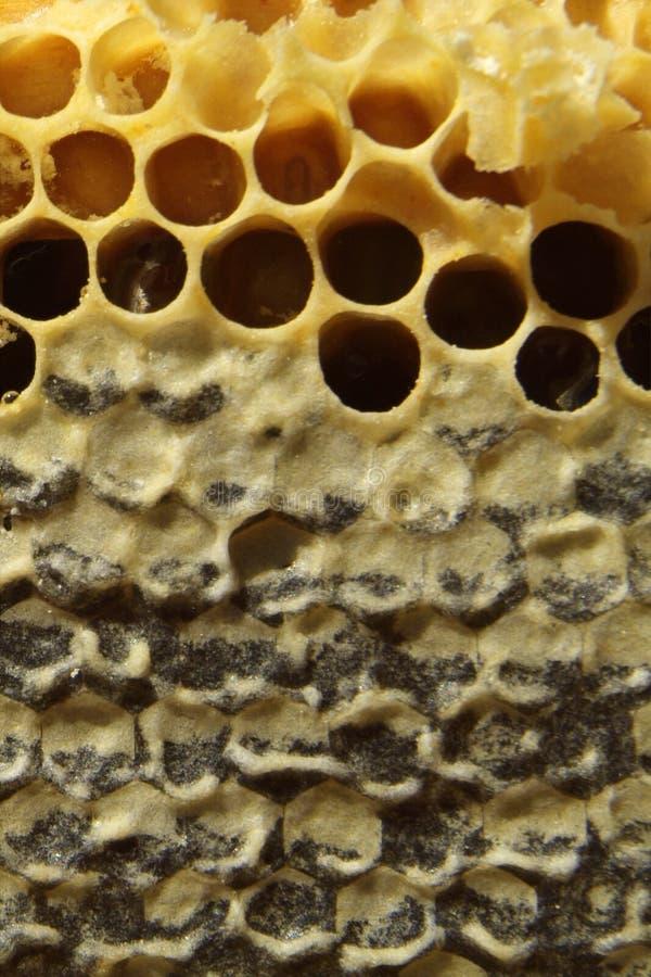 Пчелы, которые приходят от суровой зимы стоковое изображение rf