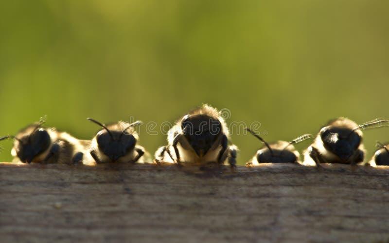 пчелы молодые стоковое фото