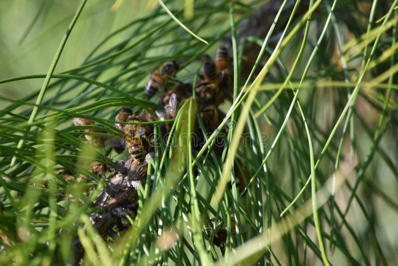 Пчелы на ели стоковые фото