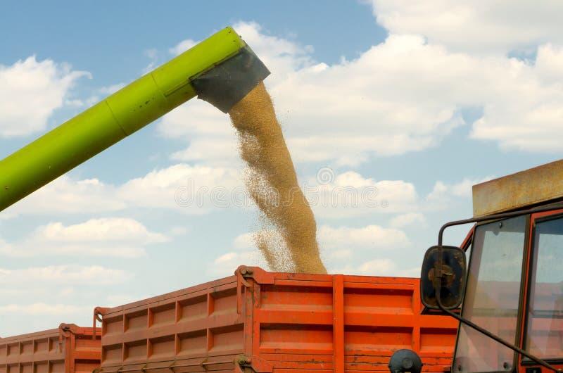 Пшеница аграрного зернокомбайна жатки лить в прицепе для трактора стоковое фото rf