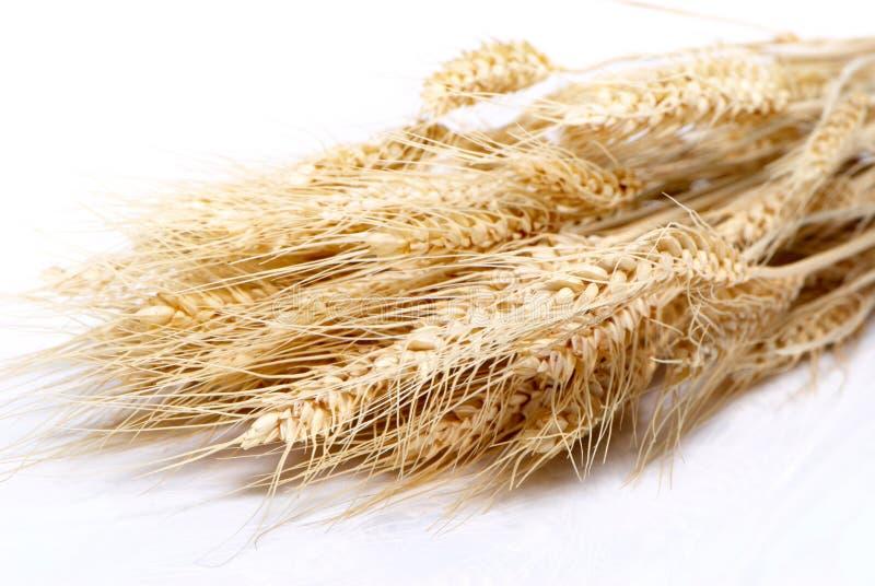 пшеница близкой детали славная поднимающая вверх стоковые фото