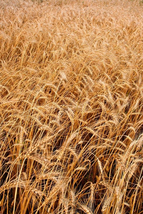 пшеница вертикали поля крупного плана стоковая фотография rf
