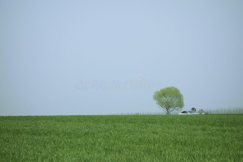 Пшеница весны стоковые фото