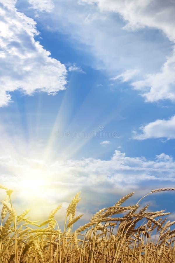 пшеница восхода солнца поля ушей стоковые фотографии rf