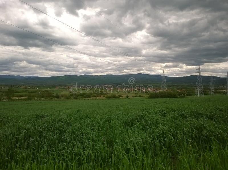 Пшеница в мае стоковые изображения rf