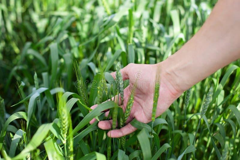 Пшеница в наличии Завод, природа, рожь Урожай на ферме Стержень с семенем для хлеба хлопьев Рост сбора земледелия Ростки пшеницы  стоковое изображение rf
